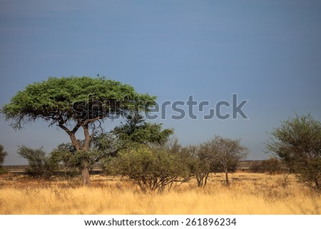 Botswana landscape view of trees and sky ready to rain at Kalahari desert, southern Africa. - stock photo