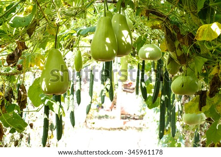 Bottle gourd, Calabash gourd, fruit and trees in the garden.