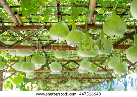 Bottle Gourd in plant - stock photo