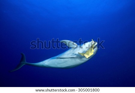 BOTTLE NOSE DOLPHIN PLAY WITH SPONGE IN CLEAR BLUE WATER - stock photo