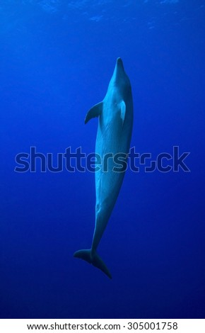 BOTTLE NOSE DOLPHIN SWIMMING ALONE IN CLEAR BLUE WATER - stock photo