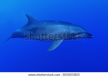 BOTTLE NOSE DOLPHIN SWIMMING ON BLUE CLEAR WATER
