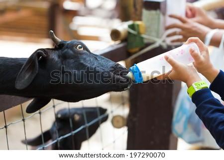 bottle of milk feeding baby goat  - stock photo