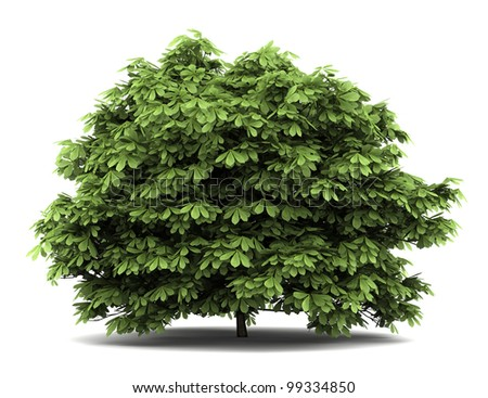 bottlebrush buckeye bush isolated on white background - stock photo