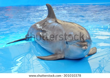 bottlenose dolphin in blue water - stock photo