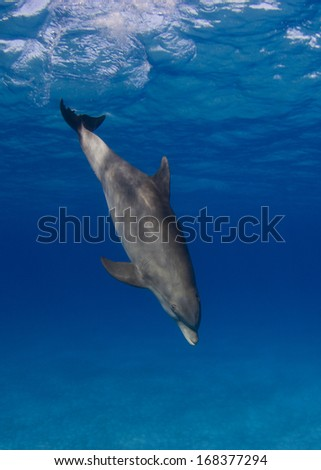 Bottlenose Dolphin in the Bahamas - stock photo
