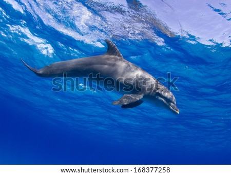 Bottlenose Dolphin in the Bahamas Crater Feeding - stock photo