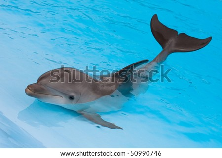 Bottlenose dolphin in the pool
