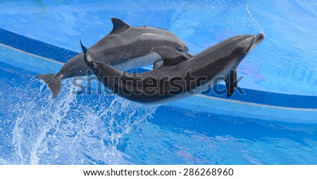Bottlenose dolphin jumping from blue water - stock photo