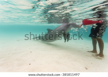 Bottlenose dolphin touches hand of  swimmer in Caribbean as school of fish swims nearby