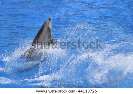 Bottlenose dolphin (Tursiops truncatus) in a wave