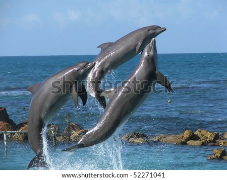 Bottlenose dolphins jumping out of the blue water - stock photo