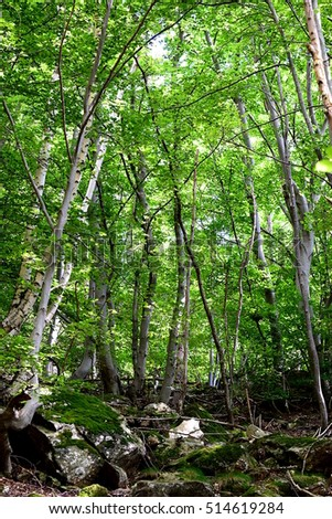 Bottom up view of a mountain beech forest