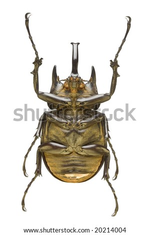 Bottom view of a large Rhinoceros Beetle (Megasoma actaeon) from the Dynastidae family originating from Peru - stock photo
