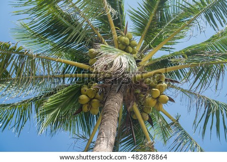 Bottom view of coconut palm tree over blue sky during summer day