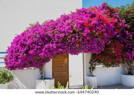 blooming bougainvillea framing door mykonos greece stock. Black Bedroom Furniture Sets. Home Design Ideas