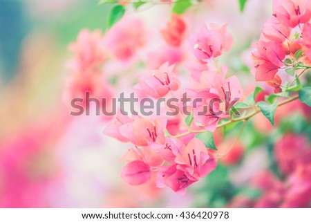 Bougainvillea blooms in the garden, soft focus (Vintage filter effect used) - stock photo