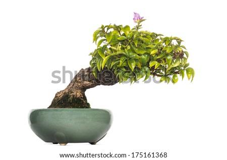 Bougainvillea bonsai tree, isolated on white - stock photo