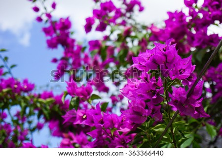 Bougainvillea flower and blue sky - stock photo