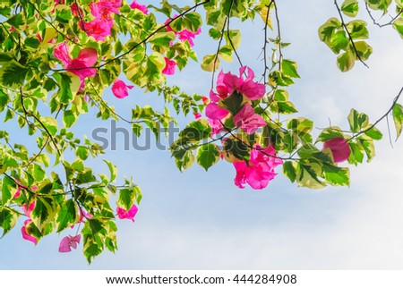 Bougainvillea flower blooming with sky