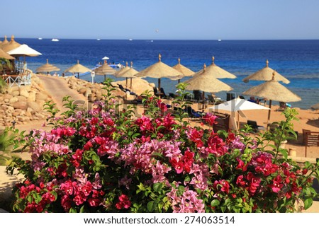 Bougainvillea flowers, beach umbrellas and lounge chairs on sandy beach, Red Sea, Egypt. Selective focus - stock photo