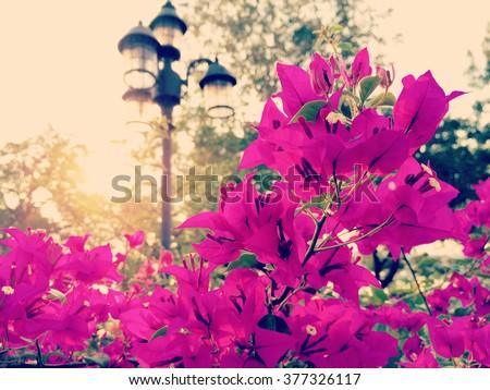 Bougainvillea Flowers Beautiful Flowers Close Up