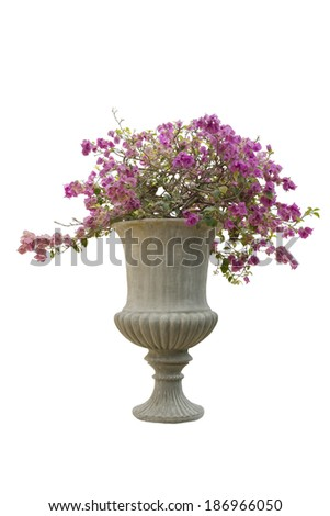Bougainvillea Flowers in pot isolated on white