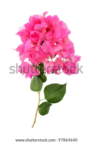 Bougainvillea hybrida, Pink Paper flower