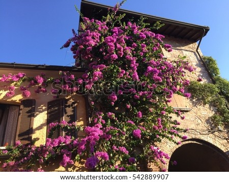 Bougainvillea on a house in Sirmione, Italy