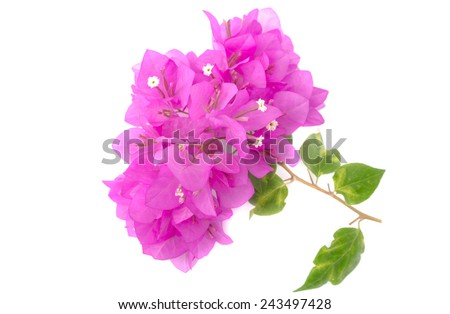 Bougainvillea on white background.
