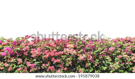 bougainvillea pink flowers wall isolated on white background - stock photo
