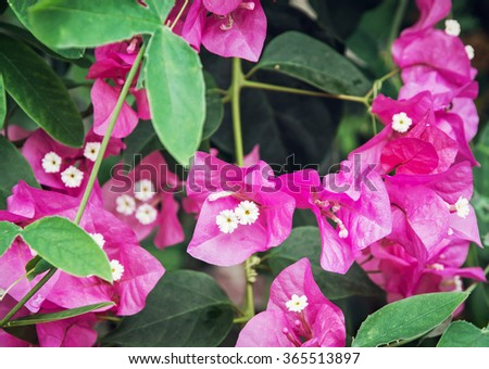 Bugambilia Stock Images Royalty Free Images Vectors