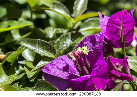 Bougainvillea spectabilis flower detail. Native to Brazil, Bolivia, Peru, and Argentina. Bougainvilleas are a genus of thorny plants, worldwide used as ornamental plants. - stock photo