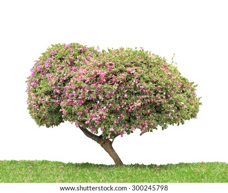 Bougainvillea tree trimming, tree in Thailand isolated on white background. This has clipping path. - stock photo