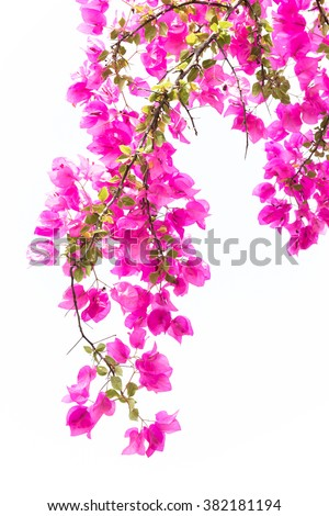 Bougainvilleas or Paper flower treetop against white background