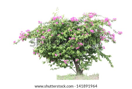 bougainvilleas tree ,Tree in Thailand ,isolated on white background - stock photo