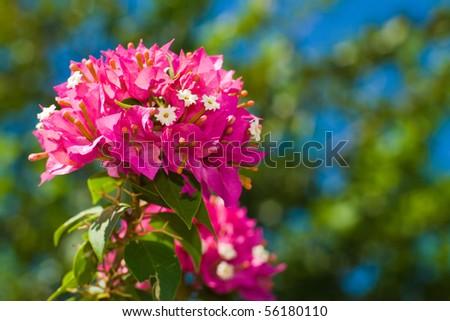 bouganvilla flower - stock photo