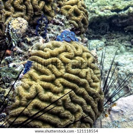 Boulder Brain Coral (colpophyllia natans). - stock photo