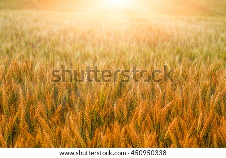 boundless field.  Golden wheat ears close-up with the sun. A fresh crop of rye. season harvest concept. Rural landscape under shining sunlight. Soft lighting effects - stock photo