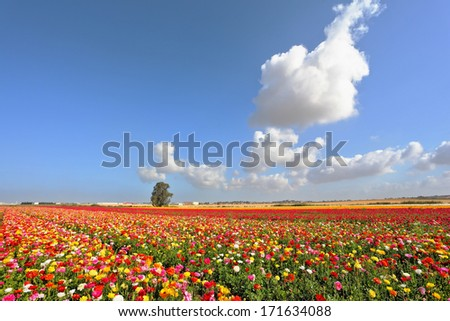 Boundless kibbutz field sown with flowers. The magnificent garden buttercups - stock photo