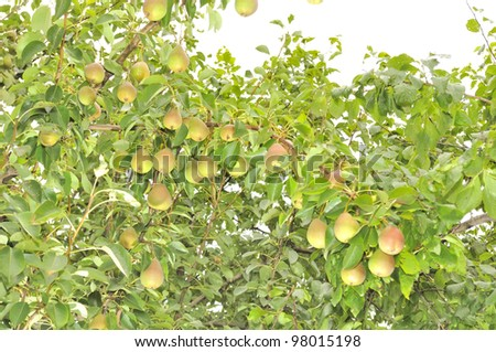 Bountiful Harvest of Pears Growing on Pear Tree - stock photo