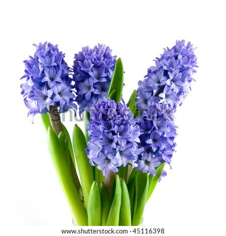 Bouquet blue hyacinth isolated on white background - stock photo
