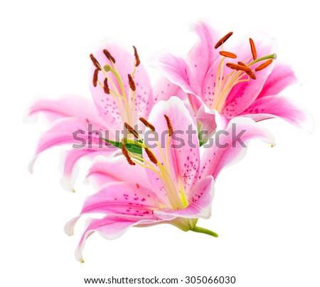 Bouquet graceful oriental lilies. isolated. A series of photos. - stock photo