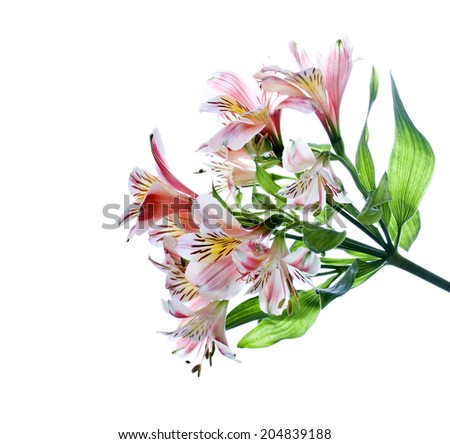 Bouquet of alstroemeria, isolated over white. - stock photo