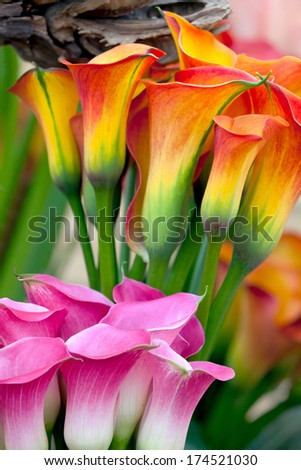 Bouquet of beautiful callas lilies. Floral pattern. - stock photo