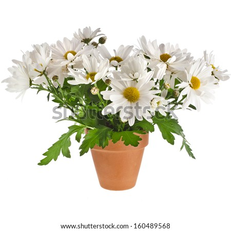 bouquet of beautiful chrysanthemum daisies flowers in a clay pot isolated on a white background - stock photo