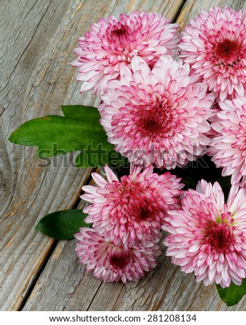 Bouquet of Big Beautiful Pink and Red Chrysanthemum closeup on Rustic Wooden background - stock photo