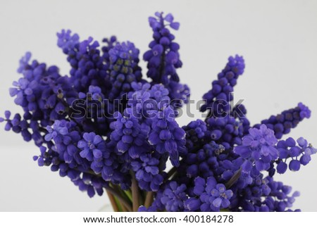 Bouquet of blooming Muscari