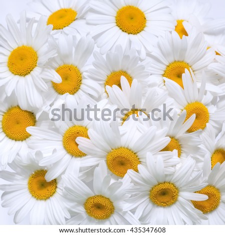 Bouquet of camomile - stock photo