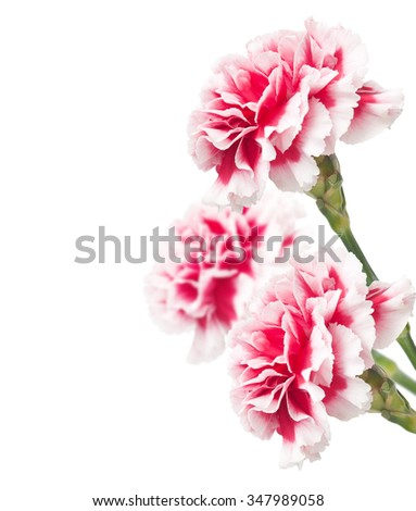 Bouquet of carnations isolated on white background. Macro with extremely shallow dof - stock photo